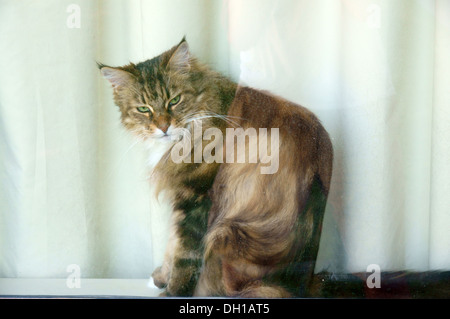Chat calico dans fenêtre les chats domestiques robe tachetée de plaques blanches orange tabby noir ecaille Banque D'Images