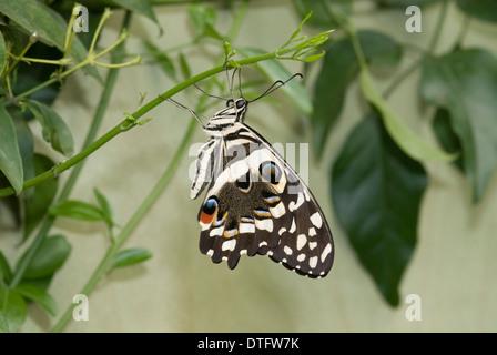 Papilio demoleus, Lime butterfly Banque D'Images