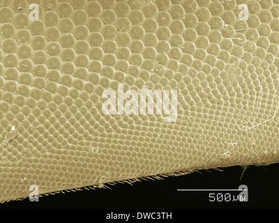 Coloured SEM de Horsefly's eye Banque D'Images