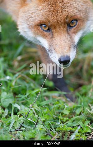 Le renard roux (Vulpes vulpes) Banque D'Images