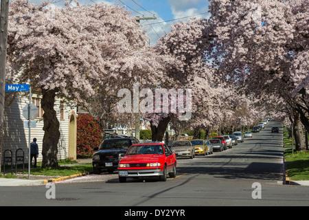 Cerisiers en pleine floraison printanière le long de Moss Street-Victoria, Colombie-Britannique, Canada. Banque D'Images
