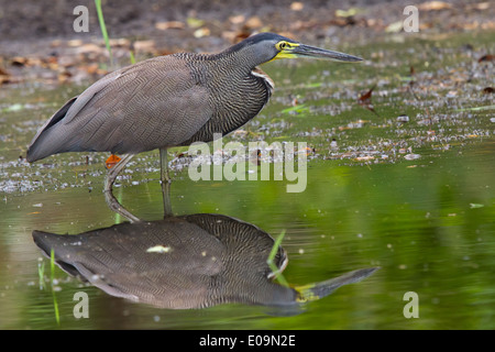 Bare-throated Tiger heron (Tigrisoma mexicanum-) Banque D'Images
