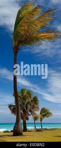 Palmiers par fort vent de l'océan Atlantique à seaside resort à Varadero Cuba Banque D'Images