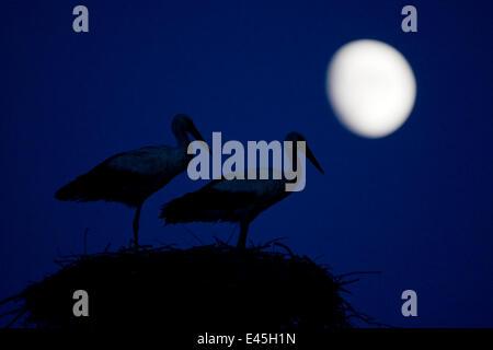 Cigogne Blanche (Ciconia ciconia) paire au nid, au crépuscule, avec lune, Niémen, Lituanie, Juin 2009 Banque D'Images