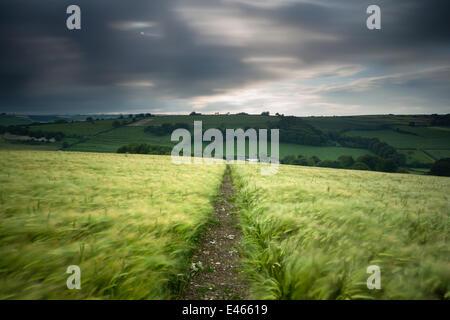 Piste / Sentier à travers un champ d'orge sous ciel d'orage, près de Plush, Dorset, UK Juin 2012 Banque D'Images