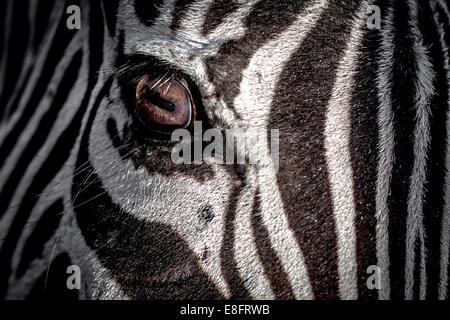 Close-up of a Zebra's eye Banque D'Images