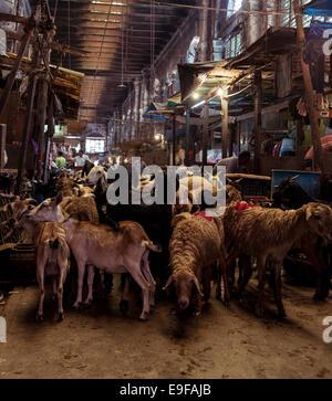 Moutons prêts à être tués dans un abattoir. Nouveau Marché, Kolkata, West Bengal, India Banque D'Images