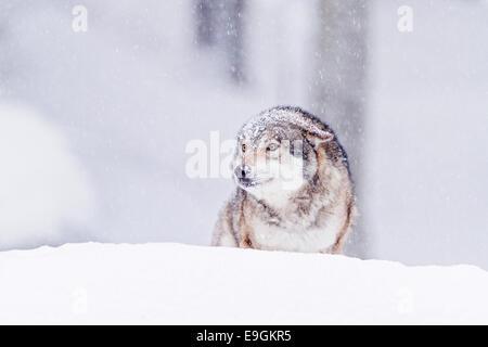 Loup gris en captivité (Canis lupus) recouvert de neige pendant un blizzard Banque D'Images