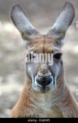 Kangourou rouge portrait. regarder dans la caméra dans le Queensland, Australie. Banque D'Images