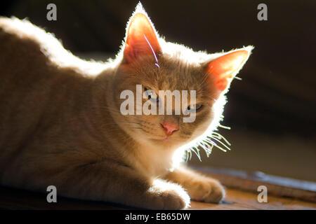Les Tabby Kitten - 7 mois Banque D'Images