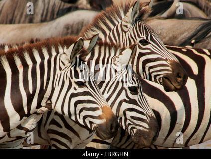 La moule commune (Equus quagga), trois zèbres, portrait, side view, Tanzanie, Serengeti National Park Banque D'Images