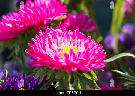 Close - up de grande fleur pourpre Banque D'Images