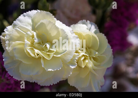 Close - up de grande fleur blanche Banque D'Images