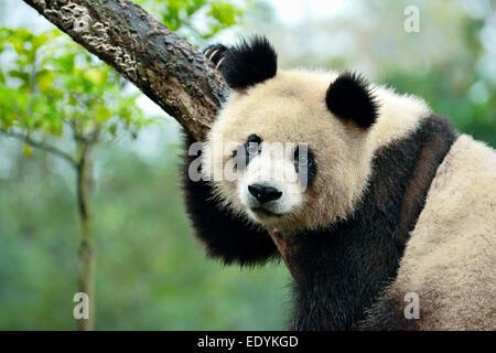 Panda géant (Ailuropoda melanoleuca) perché sur un arbre, captive, Chengdu Research Base de reproduction du Panda Banque D'Images