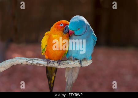 Paire de petits perroquets colorés Agapornis inséparables les uns des autres de toilettage Banque D'Images