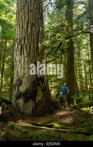 Un male hiker regarde un vieux géant de Douglas taxifoliés dans le Pacifique Nord-Ouest Banque D'Images