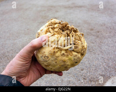 Le céleri-rave (Apium graveolens var. rapaceum) un légume-racine appelé aussi enracinée navet ou Céleri Céleri, Banque D'Images
