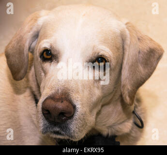 Golden retriever du Labrador Banque D'Images