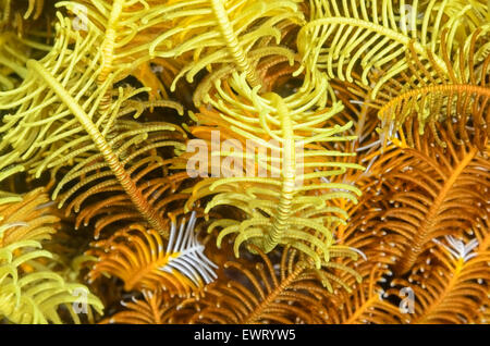 Feather star et d'armes, les cirres Comaster schlegelii, Anilao, Batangas, Philippines, Pacifique Banque D'Images
