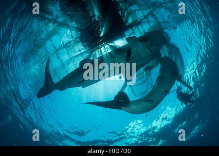 Paire de requins baleines nager jusqu'à la surface, se découpant contre le soleil, le ciel et les filets de pêche, Banque D'Images