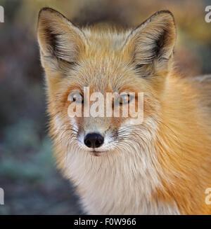 Portrait d'un renard roux. Banque D'Images