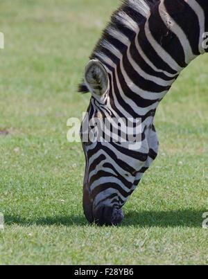 Belle tête de zebra Banque D'Images