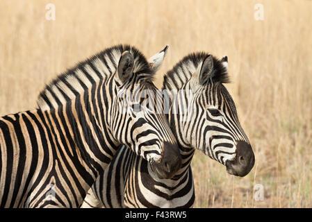 Deux zèbres de Burchell (Equus quagga burchellii) dans un endroit sec, à l'herbe d'or, savane Pilanesberg National Banque D'Images