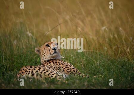 Un guépard sur breezy day! Banque D'Images