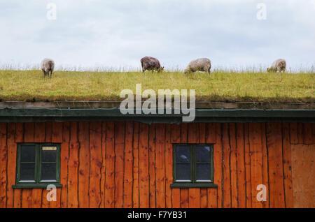 Le pâturage des moutons sur l'herbe toit d'une maison en bois dans les îles Lofoten de Norvège Banque D'Images