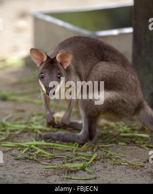 Calliste dos-bleu à pattes (kangourou) forêt de caméra fixe Banque D'Images