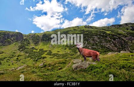 Red Deer beuglant dans les montagnes Banque D'Images