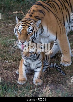 L'amour (tigre de Sibérie) lave son jeune fils Banque D'Images