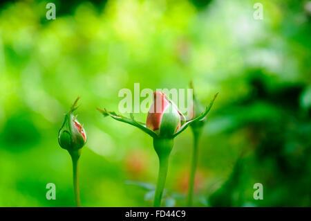 Bouton de Rose Rouge parfait avec fond vert luxuriant Banque D'Images