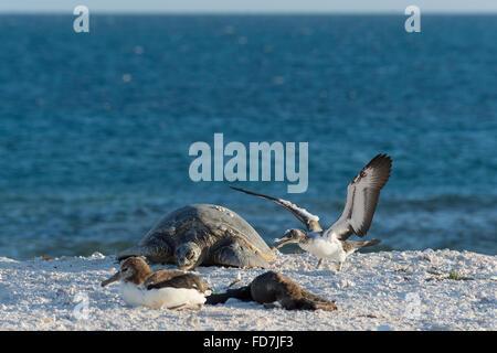 Un curieux jeune fou brun, Sula leucogaster, enquête sur une tortue verte, Chelonia mydas, French Frigate Shoals, Banque D'Images
