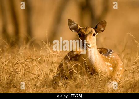 Chital ou spotted deer l'axe dans le parc national de Ranthambore , Rajasthan , Inde Banque D'Images