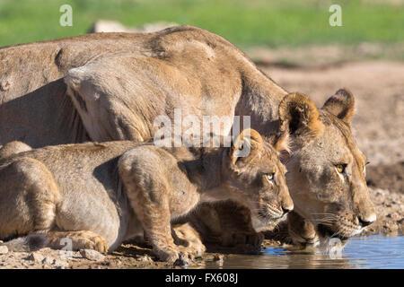 Lionne avec cub (Panthera leo) d'alcool dans le Kalahari, Kgalagadi Transfrontier Park, Northern Cape, Afrique du Banque D'Images