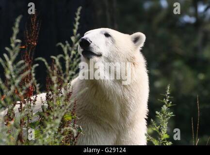 Femelle ours polaire (Ursus maritimus) dans un établissement d'été naturel, low point de vue Banque D'Images
