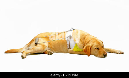 Chien-guide Guide Dogs for the Blind Banque D'Images