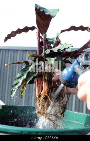 Lavage le racines de Calathea insignis Calathea lancifolia ou également connu sous le nom de plante Crotale Banque D'Images