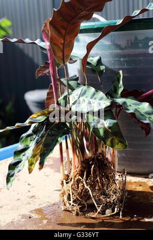 Calathea lancifolia Calathea insignis ou également connu sous le nom de serpent à sonnette, Plante Plante Plante Banque D'Images