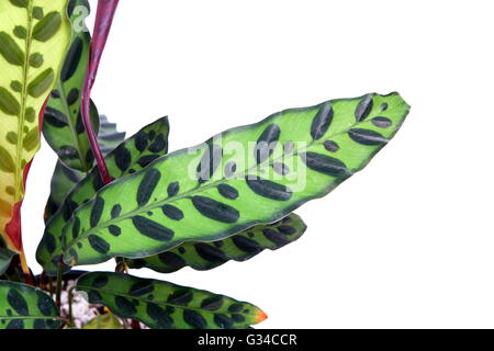 Calathea lancifolia Calathea insignis, également connu sous le nom de plante, plante zèbre crotale, la prière ou Banque D'Images