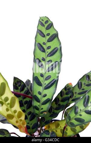 Calathea lancifolia Calathea insignis ou ou également connu sous le nom de serpent à sonnette, Plante Plante zèbre, Banque D'Images