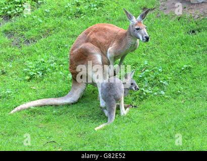 Australian Red femelle kangourou (Macropus rufus) avec son joey Banque D'Images