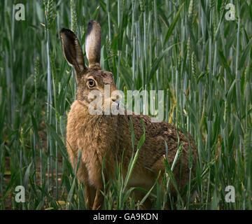 European Brown Hare, champ d'orge en adultes, Lancashire, UK Banque D'Images