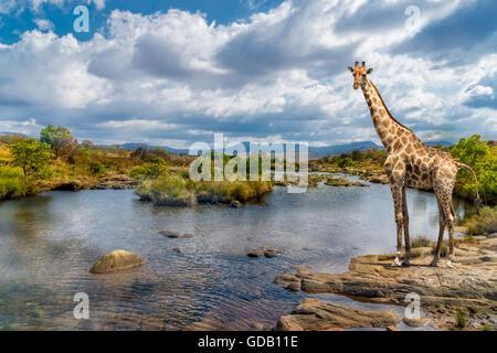 Shot pittoresque d'une girafe, debout sur la rive du fleuve. Banque D'Images