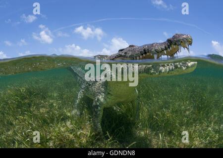 Crocodile américain à la recherche de surface des eaux peu profondes de la Réserve de biosphère de l'Atoll de Chinchorro, Banque D'Images