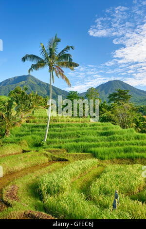Rizières en terrasses de Jatiluwih, Bali , Indonésie Banque D'Images
