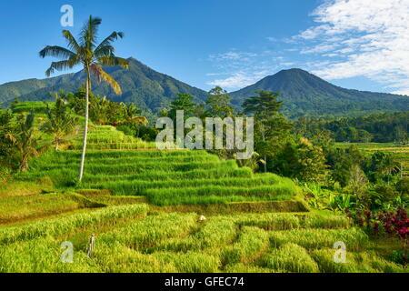 Terrasses des rizières de Jatiluwih, Bali, Indonésie Banque D'Images