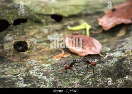 Camponotus gigas ou forêt géant ant est l'une des plus grandes fourmis dans existence Banque D'Images