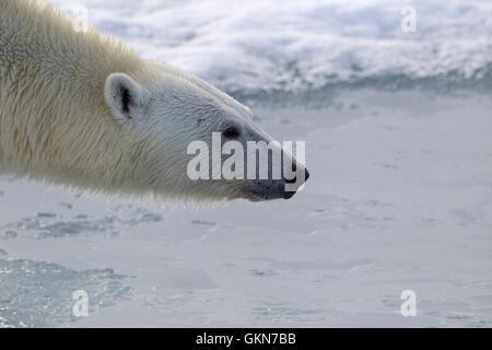 Visage de Polar Bear in close up Banque D'Images
